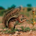 squirrel-pipe-smoking-shisha